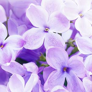 紫羅蘭香精